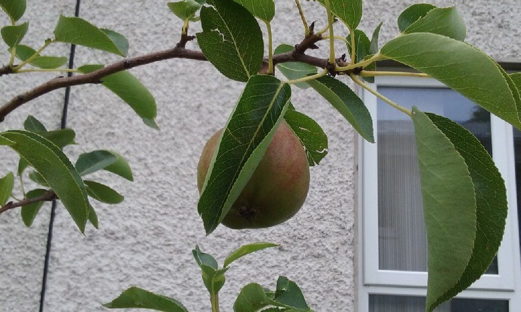 A photo of our orchard pear in our St Laurence BNS school garden