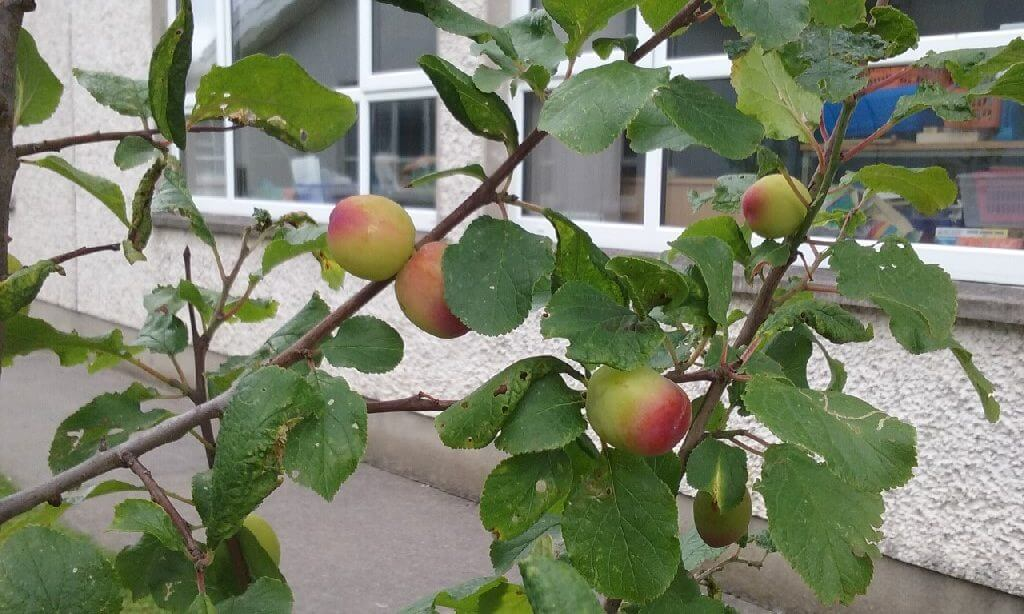 A photo of our orchard pear in our St Laurence BNS school garden_2